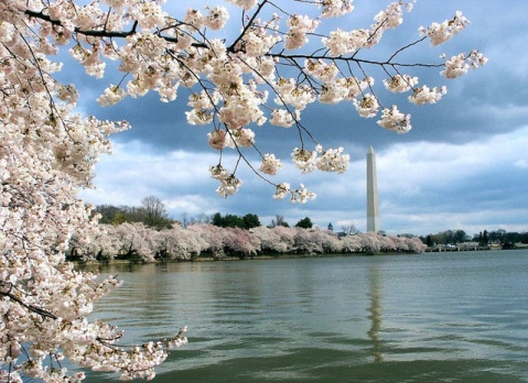 """Washington DC_cherry blossoms on the Tidal Basin"" by Flickr user robposse, CC BY 2.0"