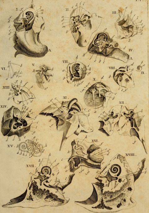 Interest in the how hearing works in animals goes back centuries. Classical image of comparative ear anatomy from 1789 by Andreae Comparetti.